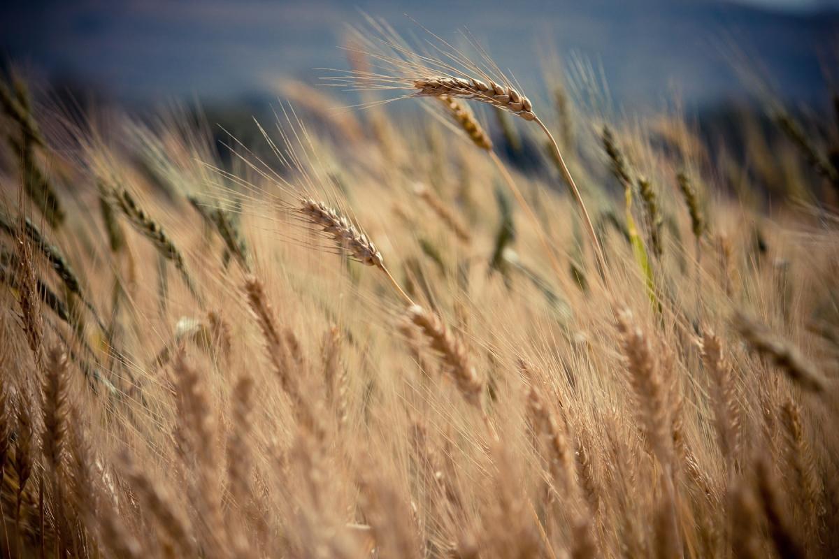 optimized-wheat